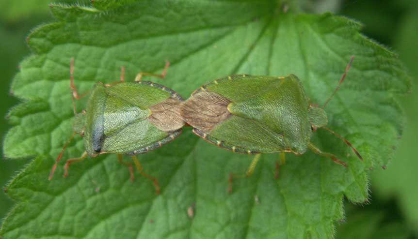 bugs | CommonGreen Shield Bugs , Palomenaprasina , were mating on the ...