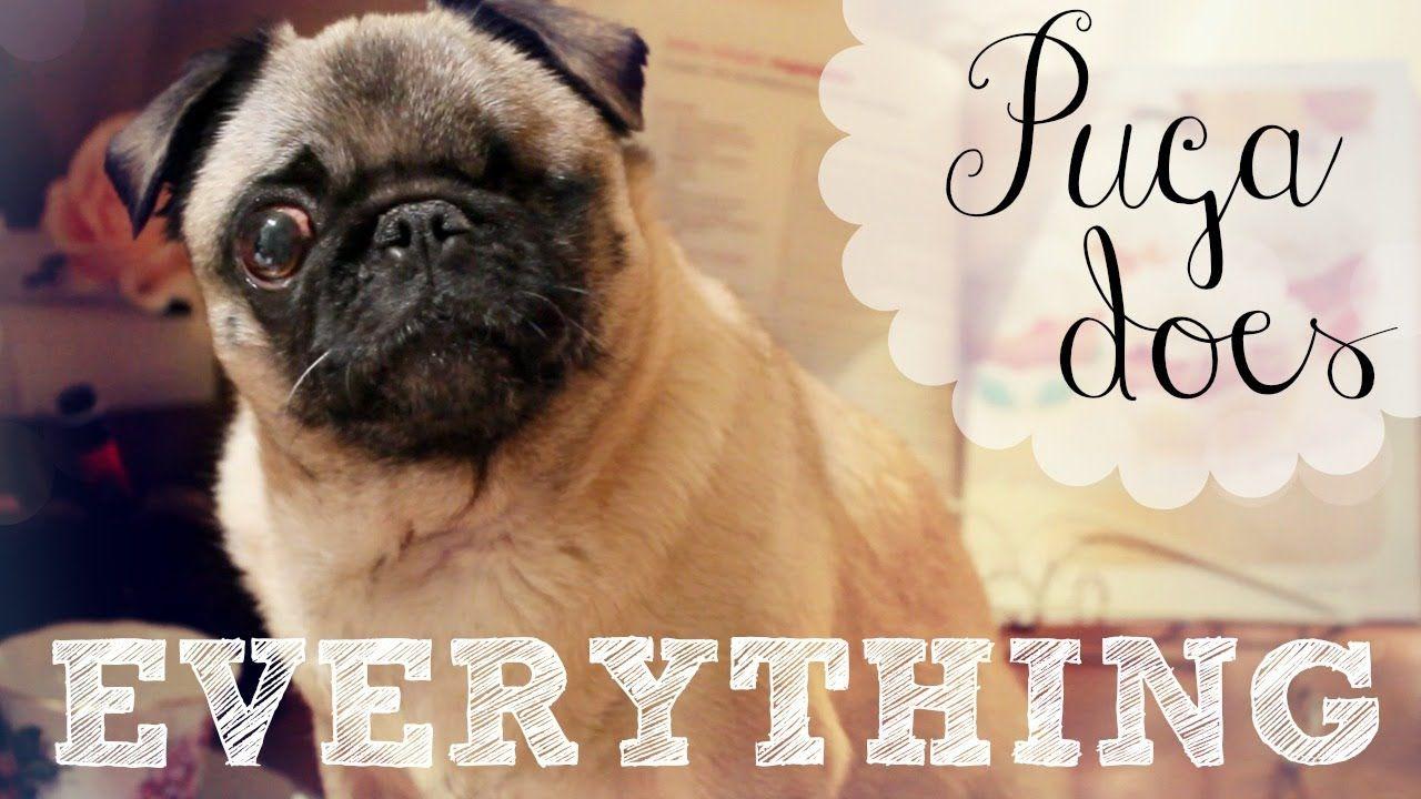 Cutie Pewdiepie S Dog Puga Does Everything Part 3 Pewdiepie