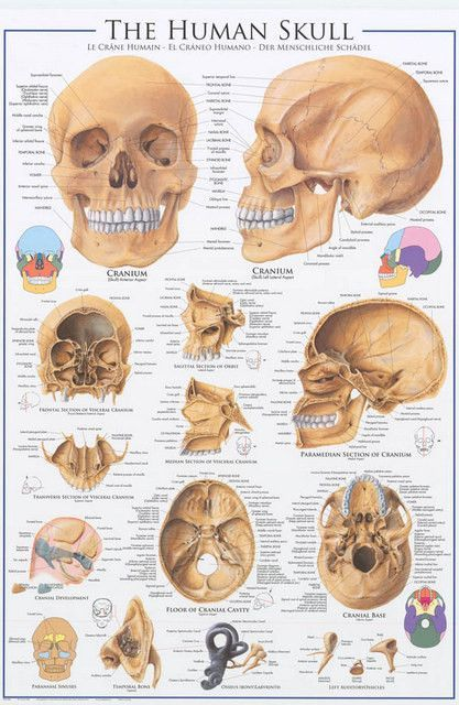 anatomy of the skull education poster 24x36 anatomy. Black Bedroom Furniture Sets. Home Design Ideas