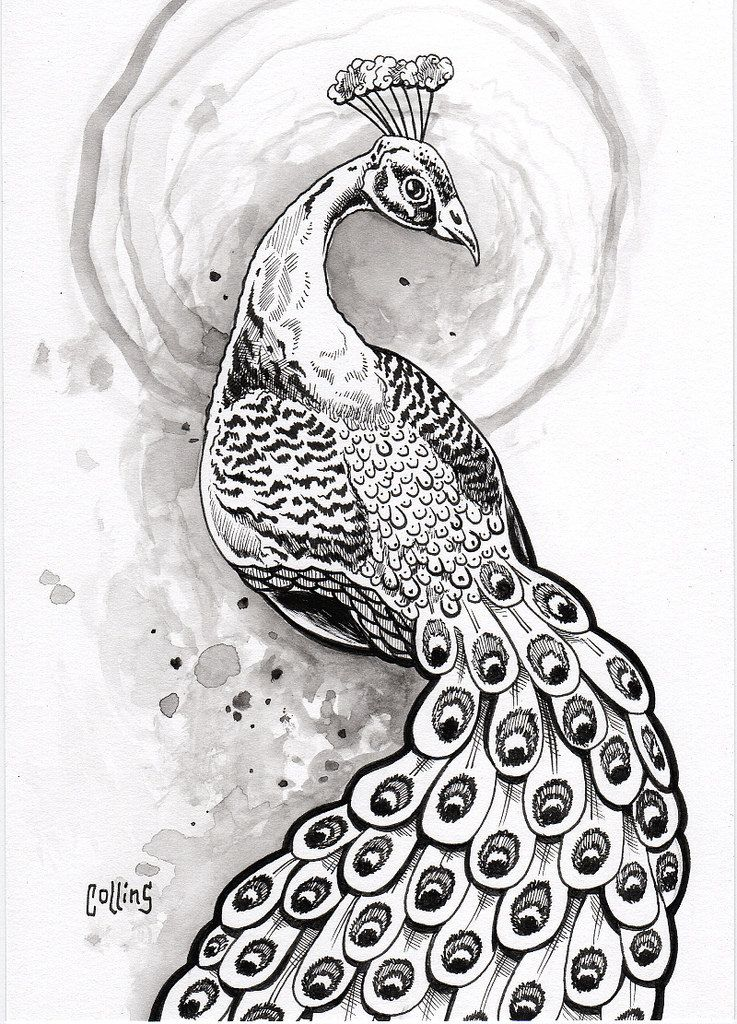 peacock by bryan collins 5x7 ink and watercolor on mixed media