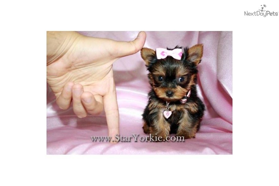 Teacup White Yorkie Puppies Micro Teacup Yorkie Puppies By Star