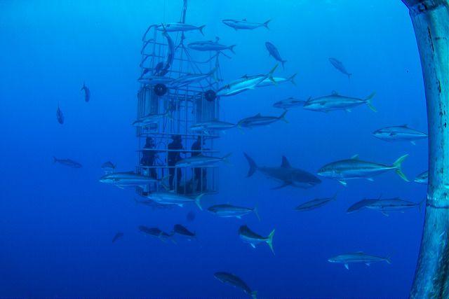 Home - Great White Sharks #YouAqua #Aquariums #Sharks # ...