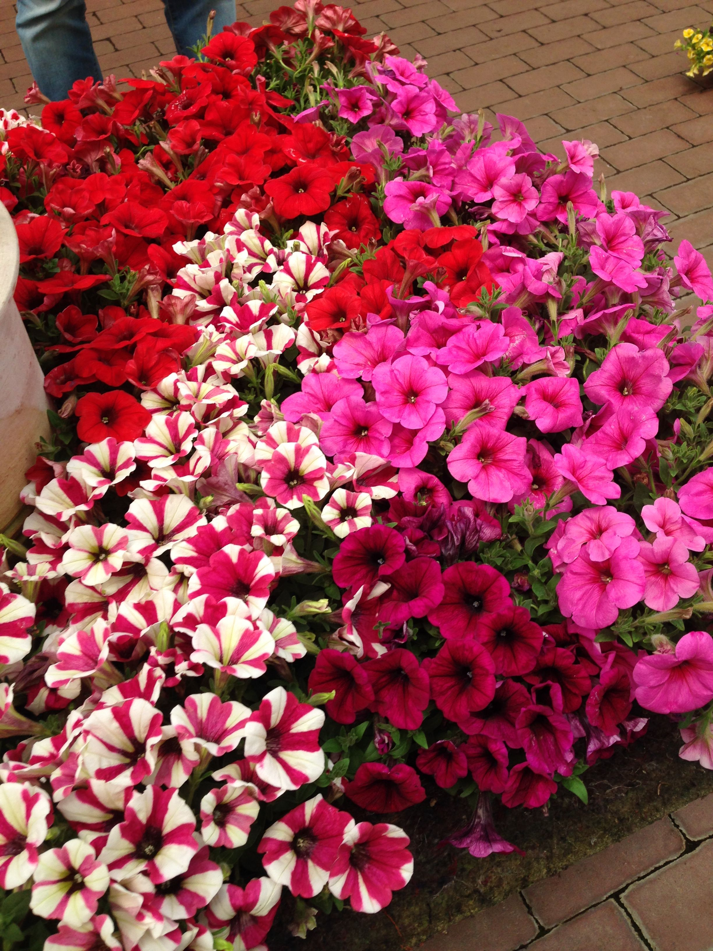 Pin By Susan Croker On Supertunia Flowers Petunias Plant Care