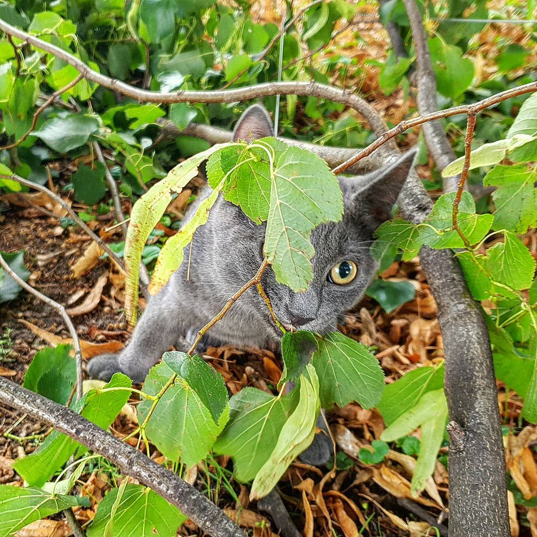 Finally I M Outside Again There Is A Leave Let Me Catch It Mommy You Ll Have To Run Too Indythebluecat Ind Cat Day Russian Blue Cat Cats Of Instagram