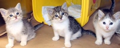 ADOPTED>Intake: 5/24 Available: Now  NAME: Mary-Margaret-Misty ANIMAL ID: 31696711-6736-6717 BREED: DSH  SEX: Female  EST. AGE: 6 weeks  Est Weight: 1.4 lbs Health:  Temperament: Friendly ADDITIONAL INFO:  RESCUE PULL FEE: $35(each)