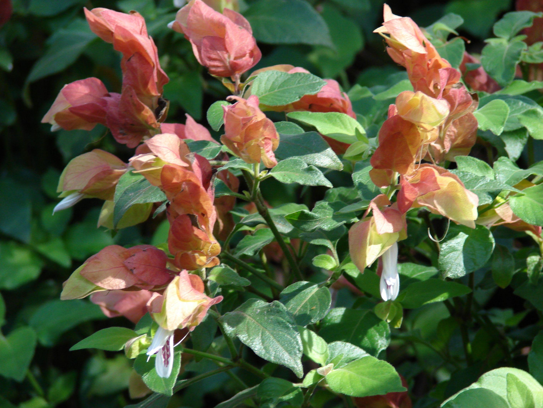 Red Shrimp Plant Justicia Brandegeana Plants Trees To Plant