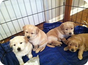 Unionville Pa Golden Retriever Labrador Retriever Mix Meet The