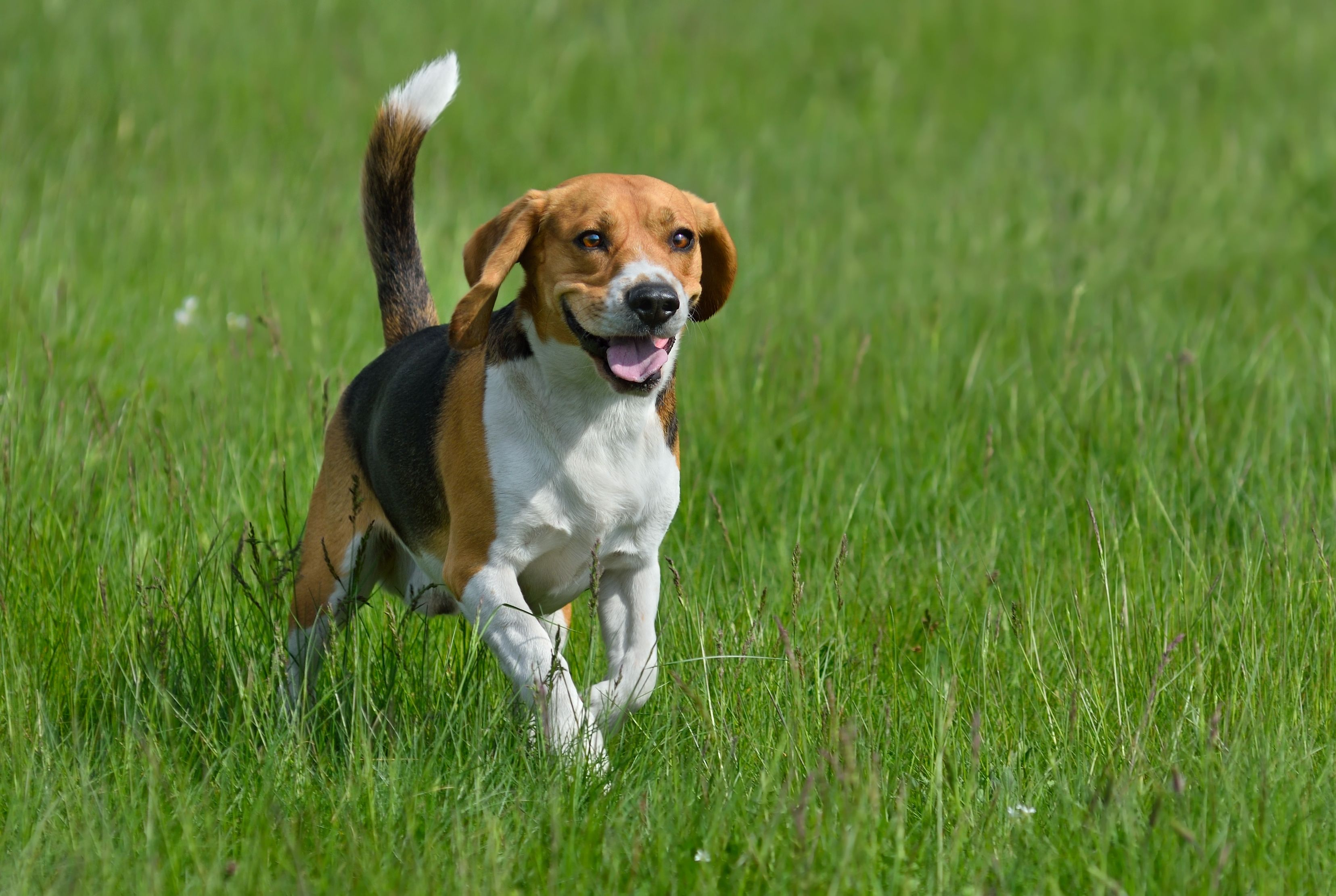 Beagle Dog Breeds Nanny Dog Dogs