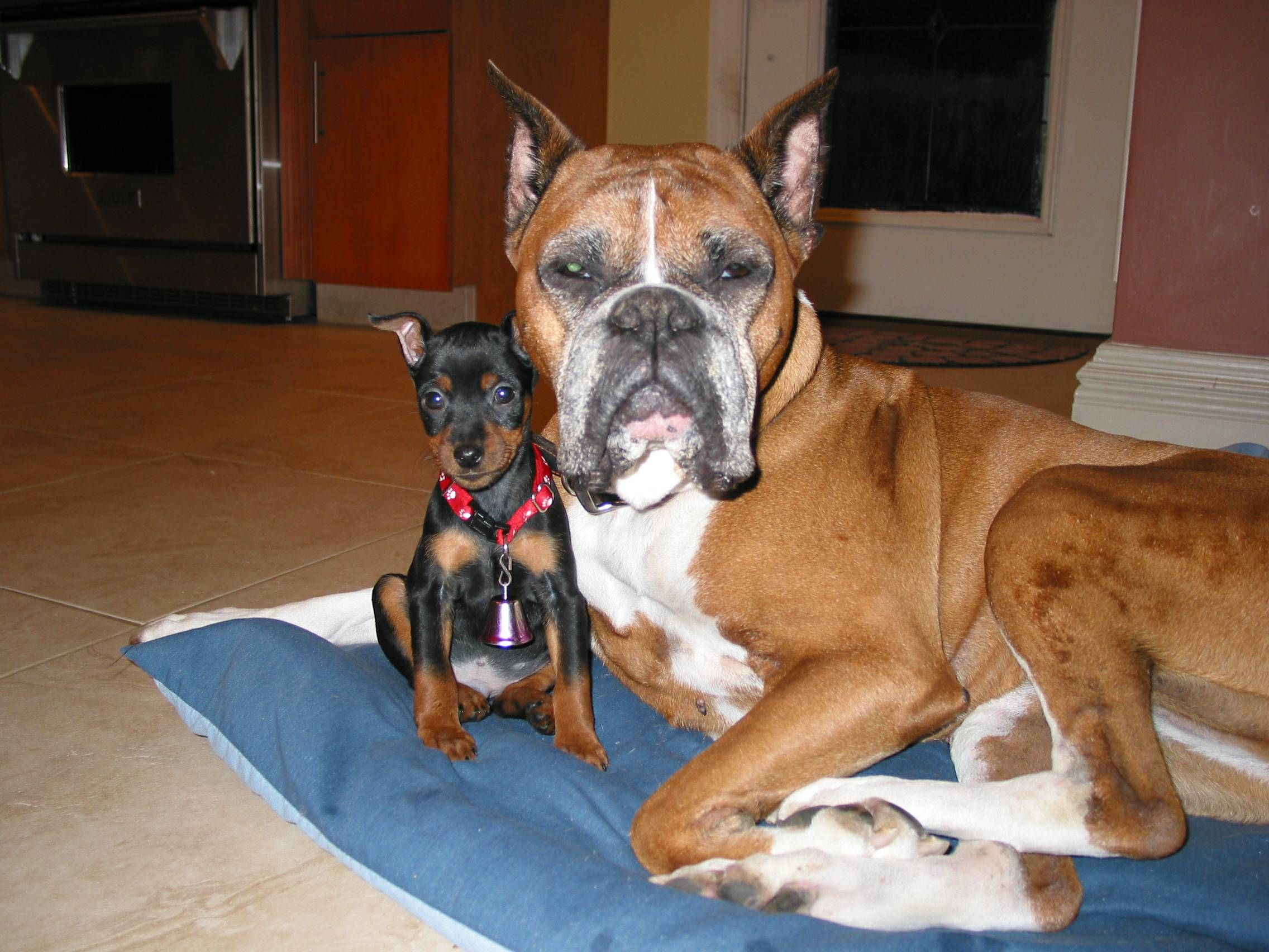 Is the miniature boxer a recognized breed?