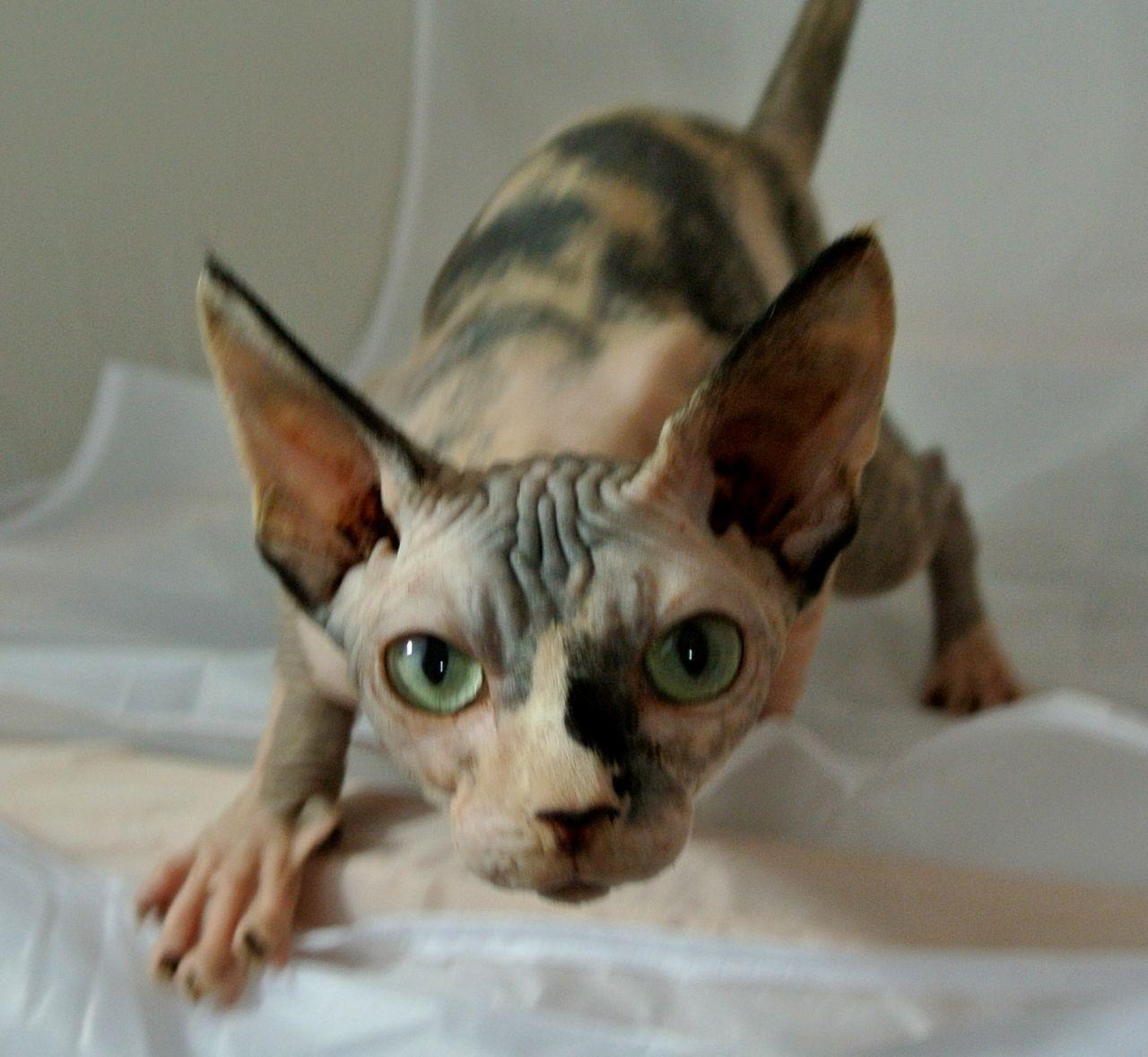 Patched Tabby Sphynx Cat Sphynx Cat Sphynx Cats