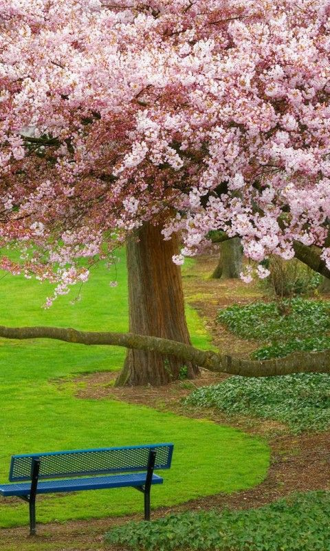 Cherry Tree Washington Tanaman Pemandangan Bunga Tulip