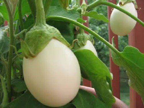 Details About 30 Easter Egg Plant Ornamental Eggplant Nest Egg