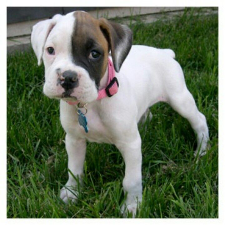 Pin By Melanie St Amour On Puppy Wuppy Boxer Puppies Boxer