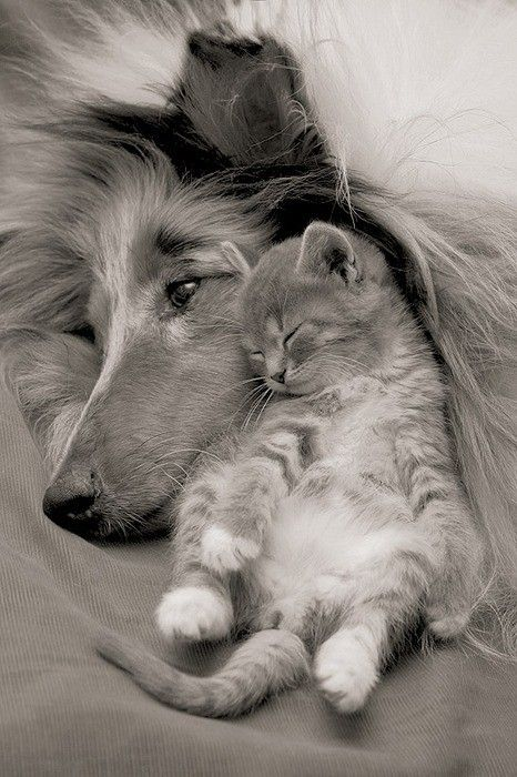Cute Dog and Kitten snuggled up together