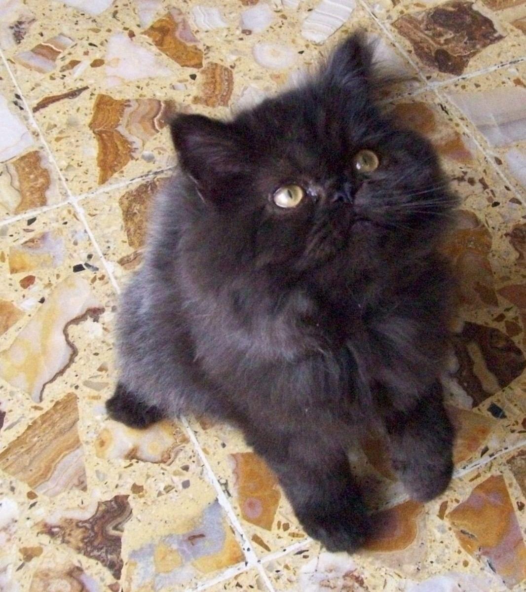 gato negro persa Beaux Chats, Chats Persans Himalayens, Tasse De Thé Chats  Persans,