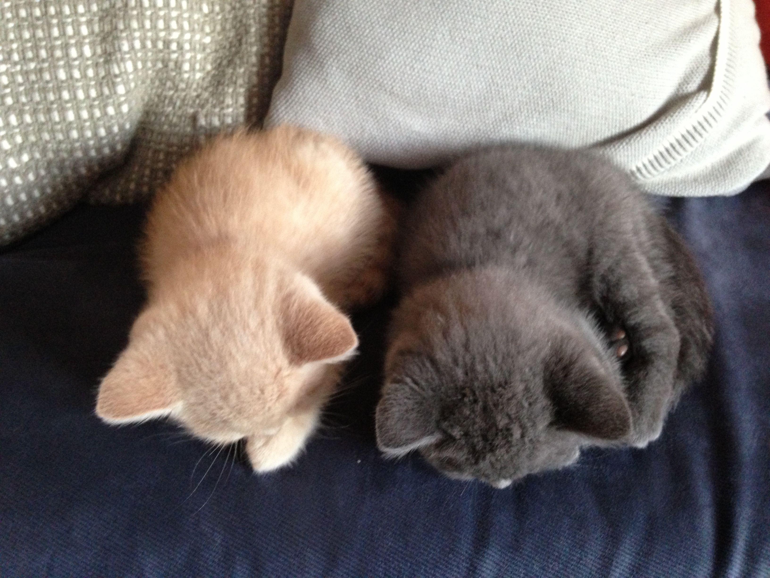 Brothers British Shorthair Kittens 8 Weeks Old Cute Cats And Dogs British Shorthair Kittens Kittens