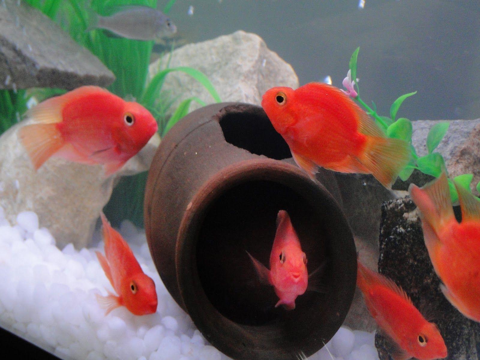 blood parrot cichlid pictures wallpaper | 3D-HD Wallpaper ...