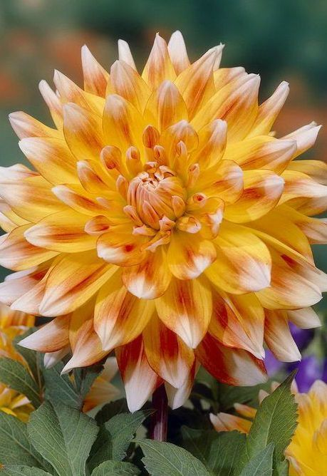 This Is Another Example Of A Dahlia That Would Be Used As The Main Flower The Bouquets And Arrangements Beautiful Flowers Peach Flowers Flowers