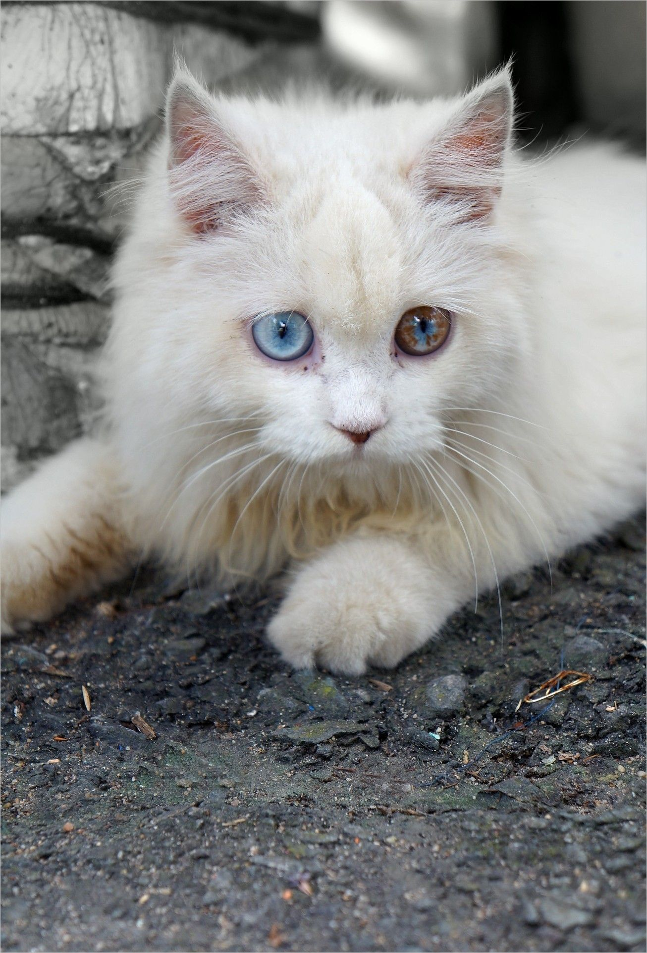 Cat Wallpaper Img Pictures Cat Eyes Pets White Cat Blue Eyes