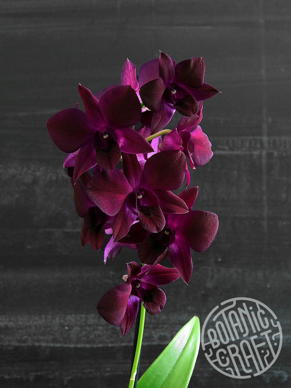 Orchid Dendrobium Thailand Black Orchids Growing Orchids Orchid Plants