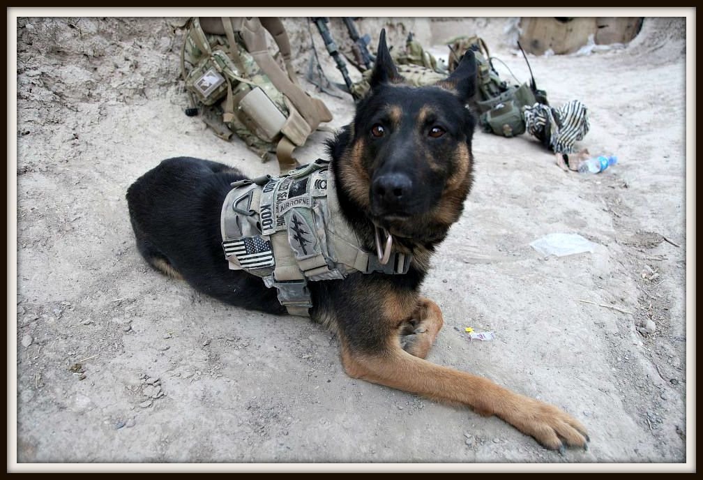 A Military Working Dog From An Oda In Afghanistan Military Dogs