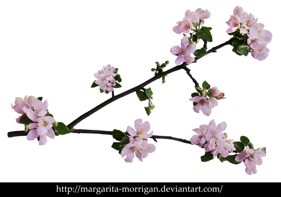 Branch Of Apple Blossoms Apple Blossom Cherry Blossom Branch Cherry Blossom