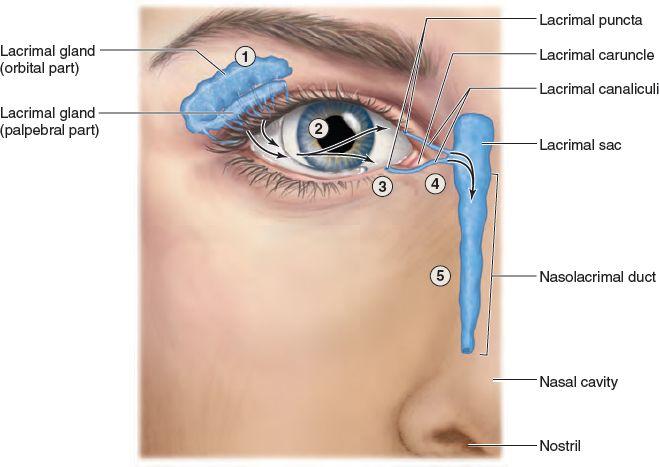 Lacrimal Apparatus The lacrimal apparatus continually produces