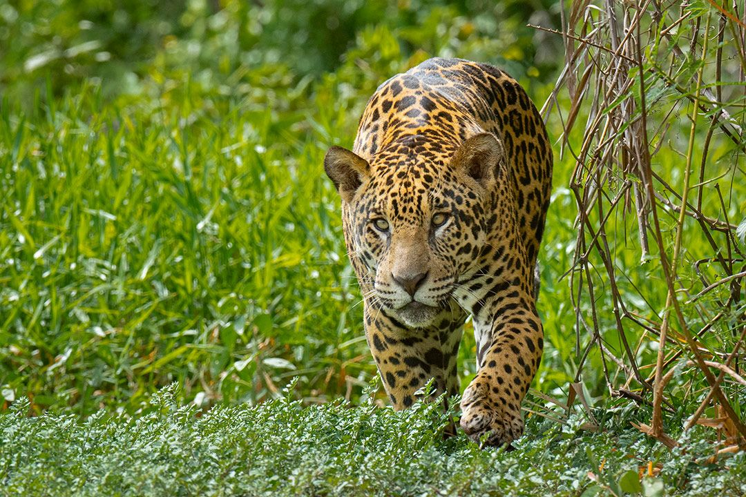 Pantanal Wild Photography Adventure Oct 2021 Wild
