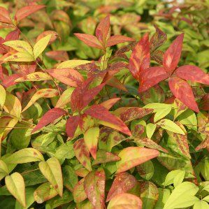 Nandina domestica 39 fire power 39 nombre popular tipolog a for Nombres de los arboles de hoja perenne