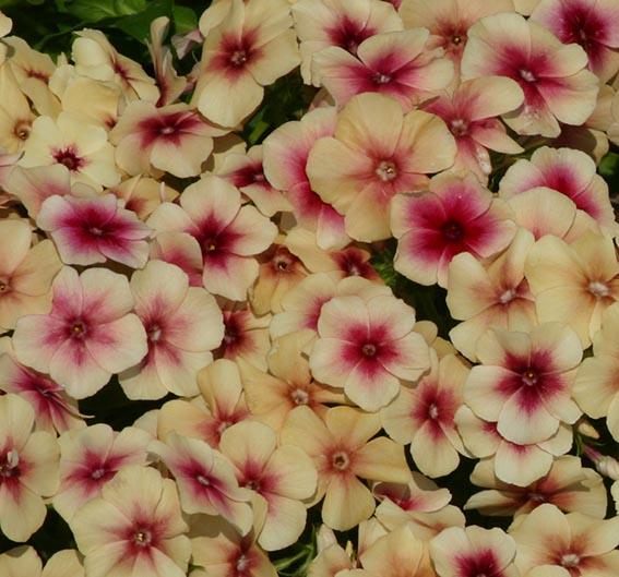 Pin on Phlox flower