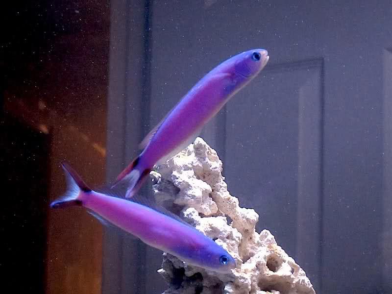 Purple Tilefish Fish Beautiful Fish Marine Fish