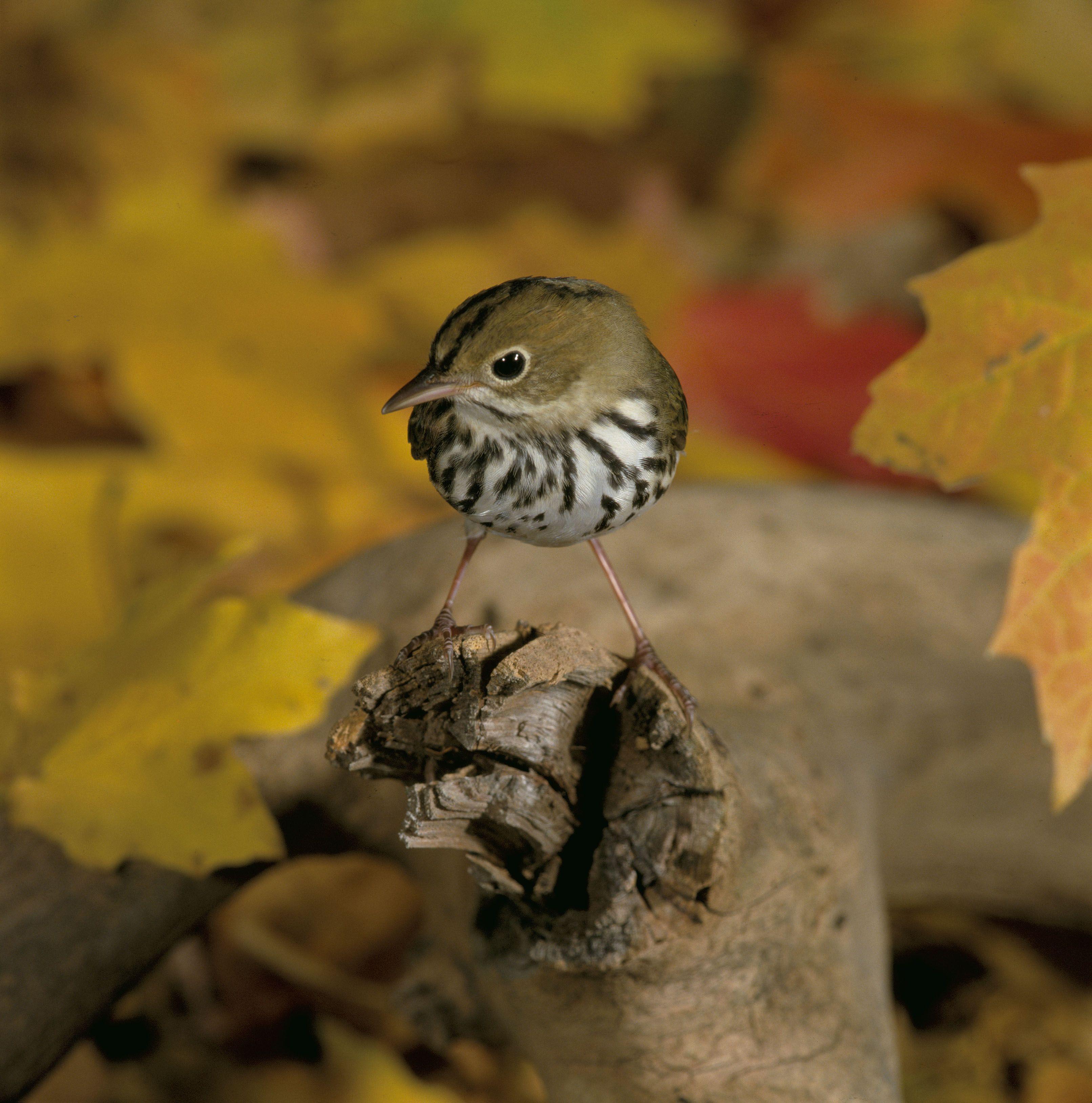 Chipmunk song Birds, Animal facts, Bird life list