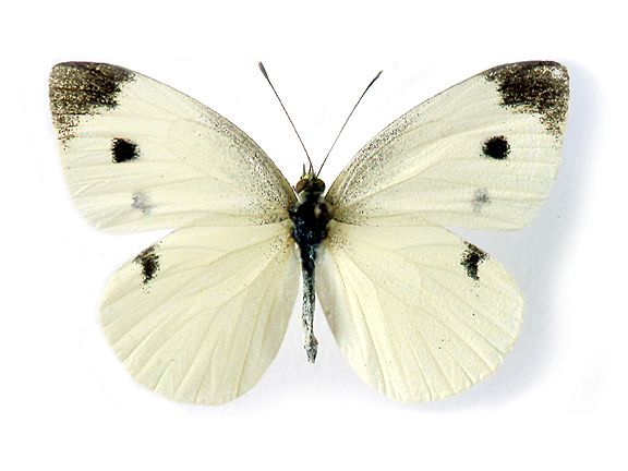 Image result for cabbage white butterfly broccoli