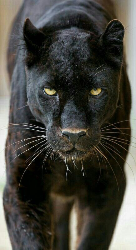 04c92c3c6 Black Panther | Tigers | Animals, Big cats, Cute Animals