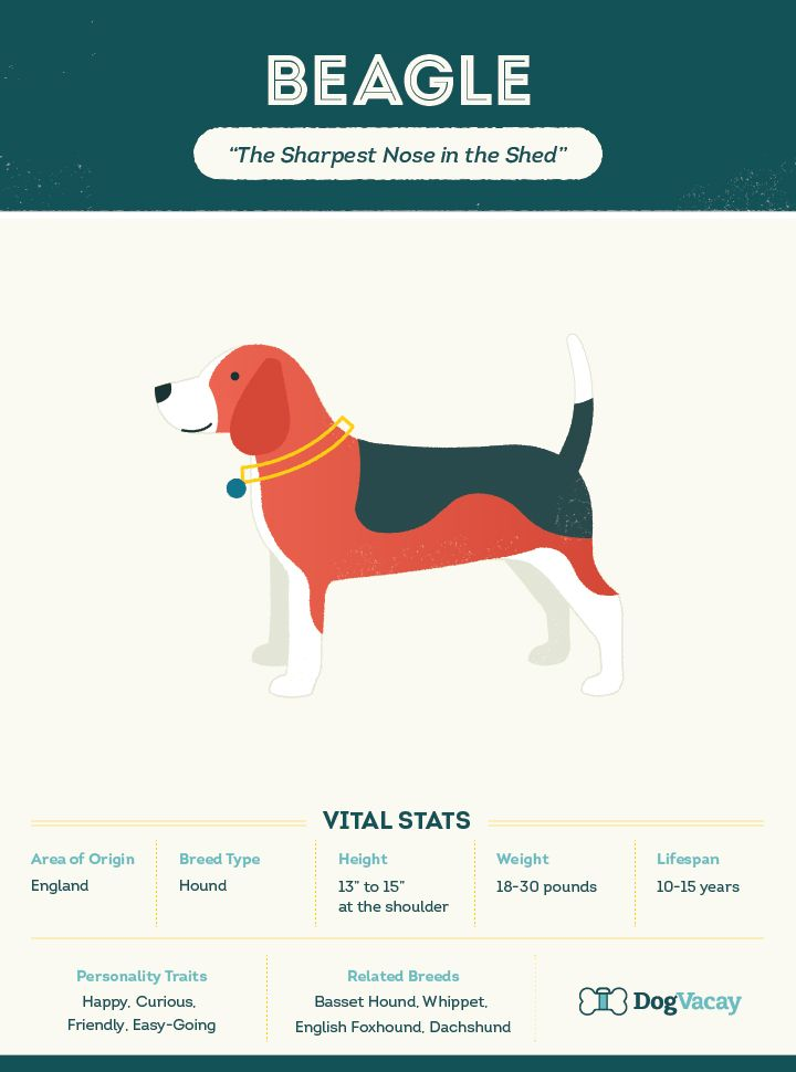"""Get to know the Beagle, the """"little comedian"""" of the dog world."""