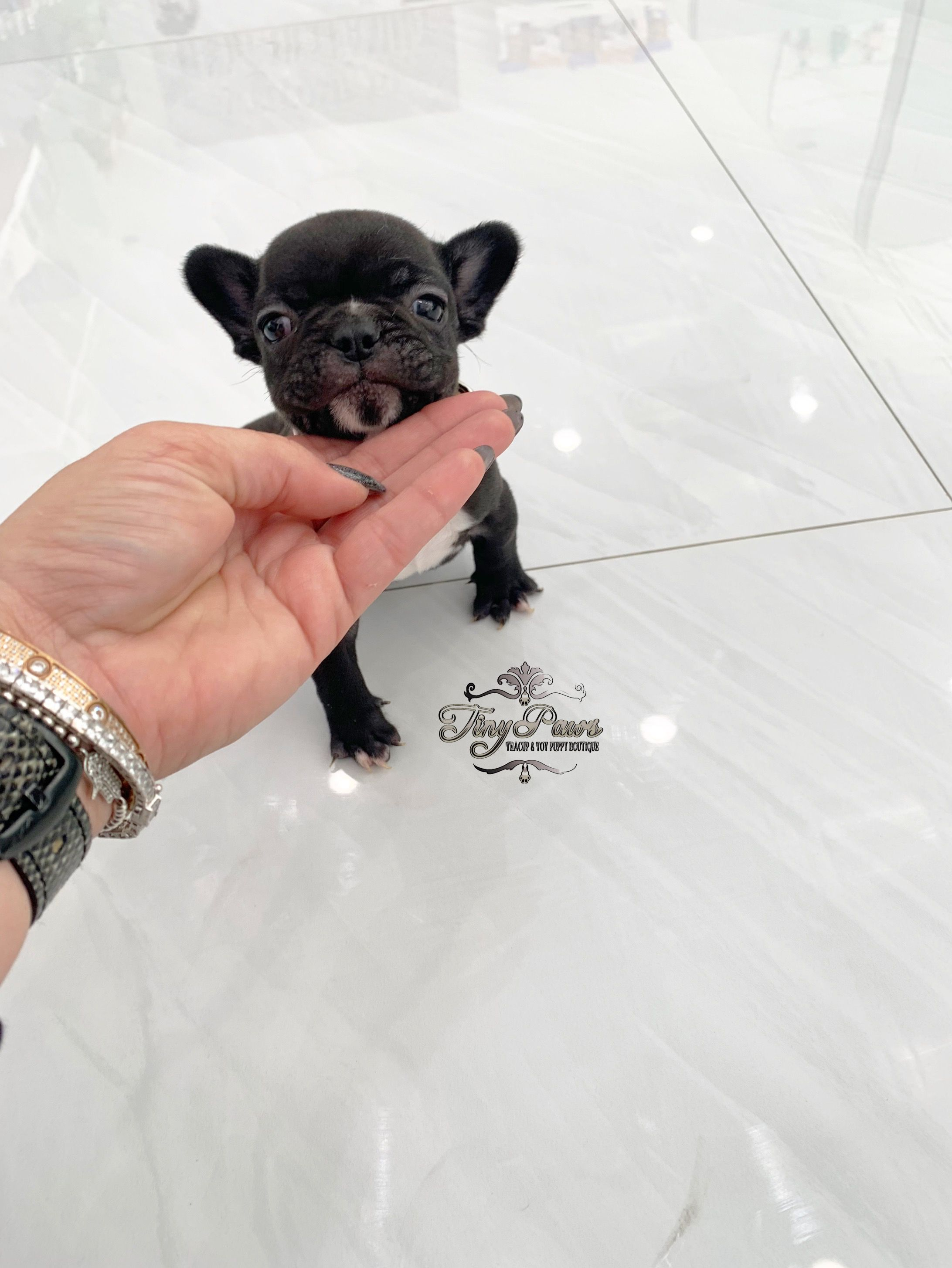 Wow Extreme Tiny Frenchie Puppy See More Info On Ig Mytinypaws
