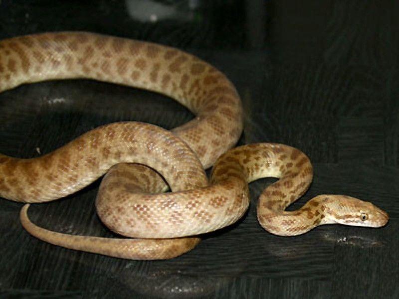 チルドレンパイソン 爬虫類 ヘビの基本的な知識と飼育方法 ヘビ 爬虫類 ペット