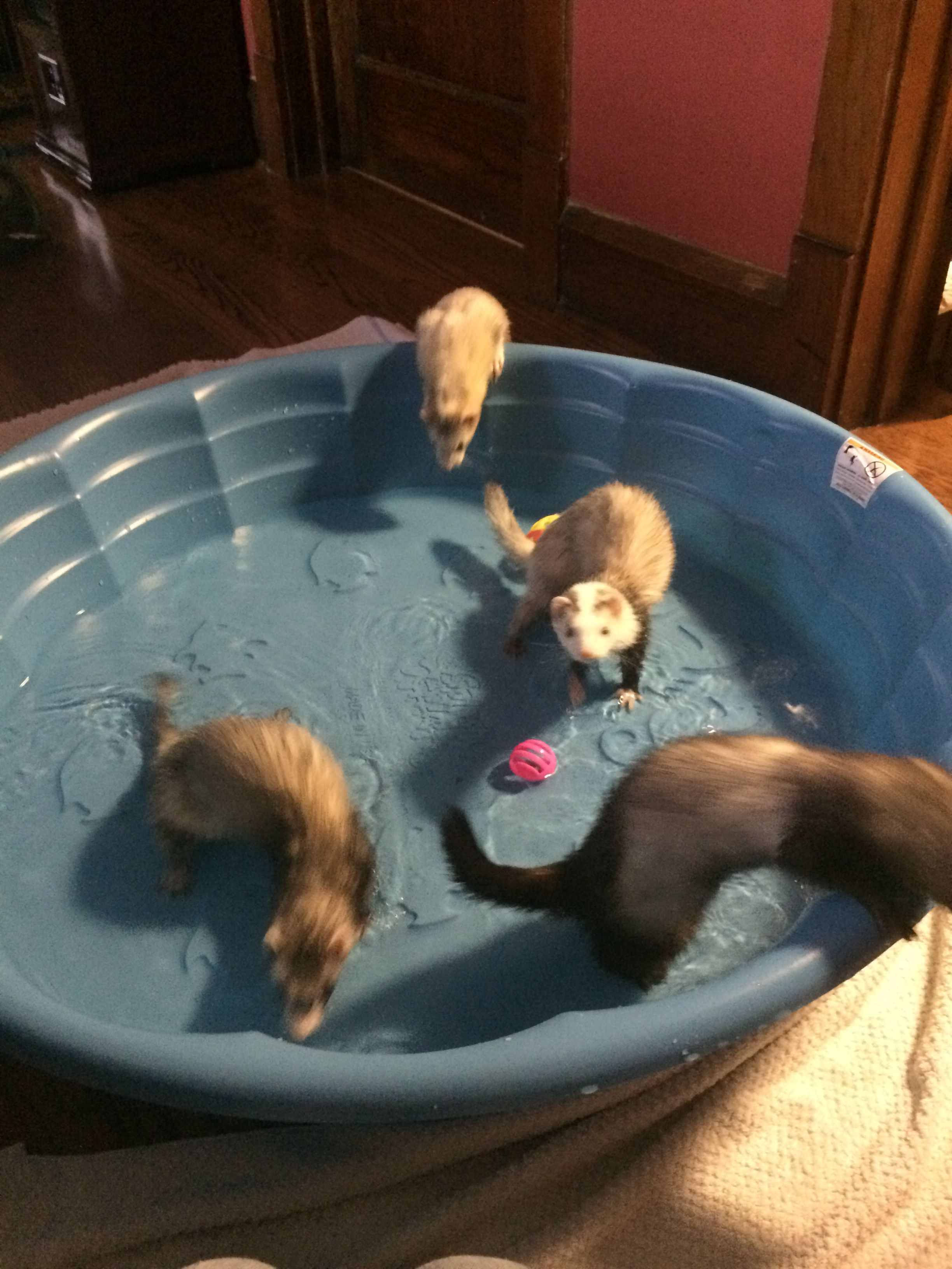 Playing In The Water Ferrets Ferrets My Small