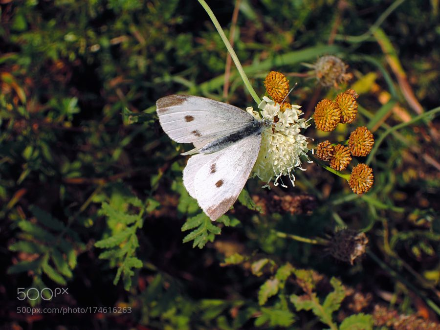 Whitey autumn (already with color wings vampire) .... by kanton44 #nature #mothernature #travel #traveling #vacation #visiting #trip #holiday #tourism #tourist #photooftheday #amazing #picoftheday