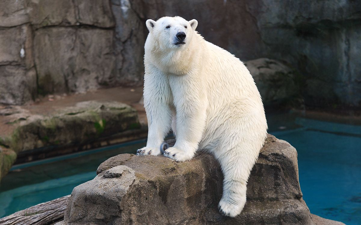 Zoos With Polar Bears Near You Local Zoos With Polar Bears Lincoln Park Zoo Polar Bear Bear