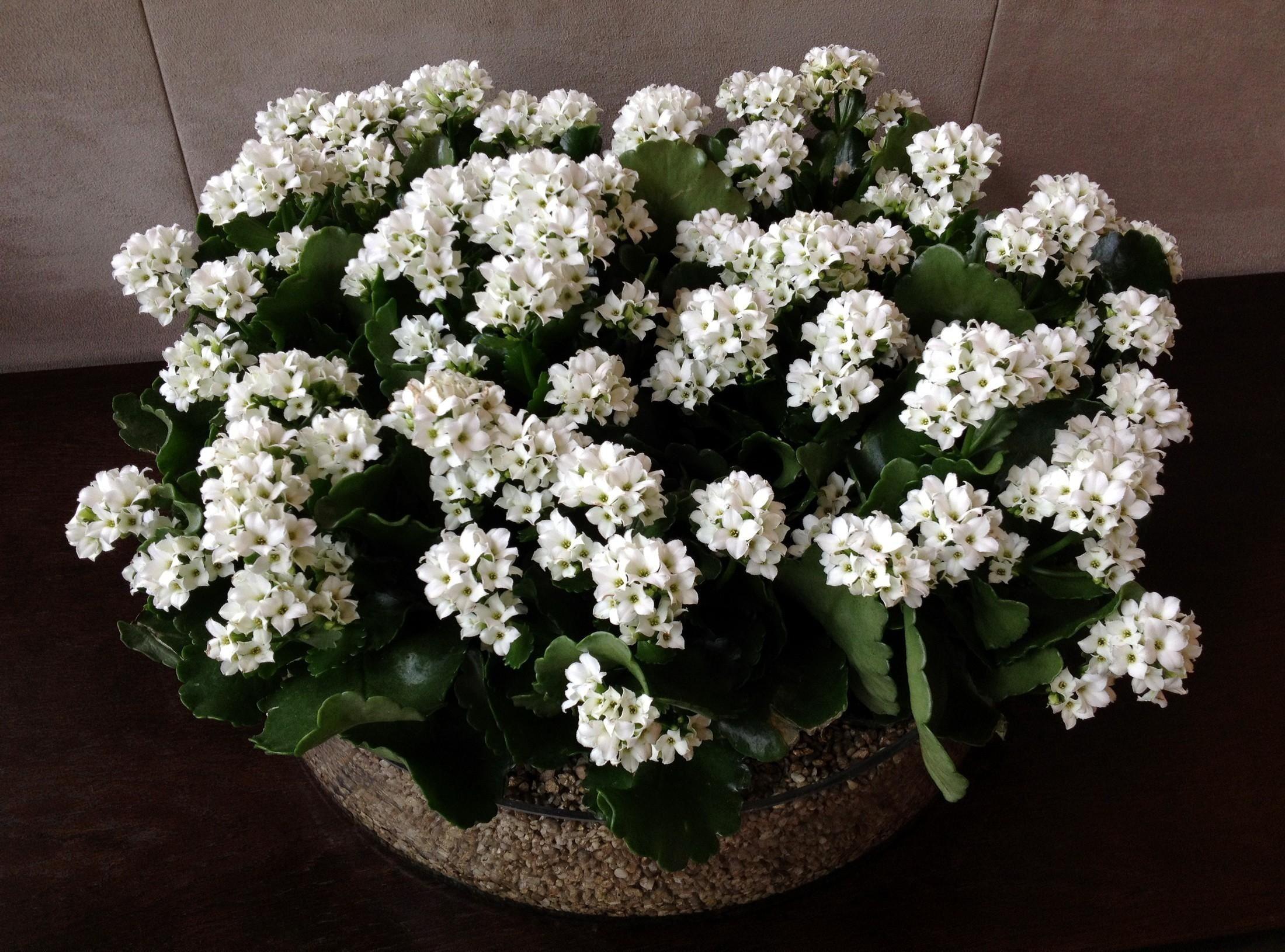 2200x1630 Wallpaper kalanchoe, flowers, white, indoor