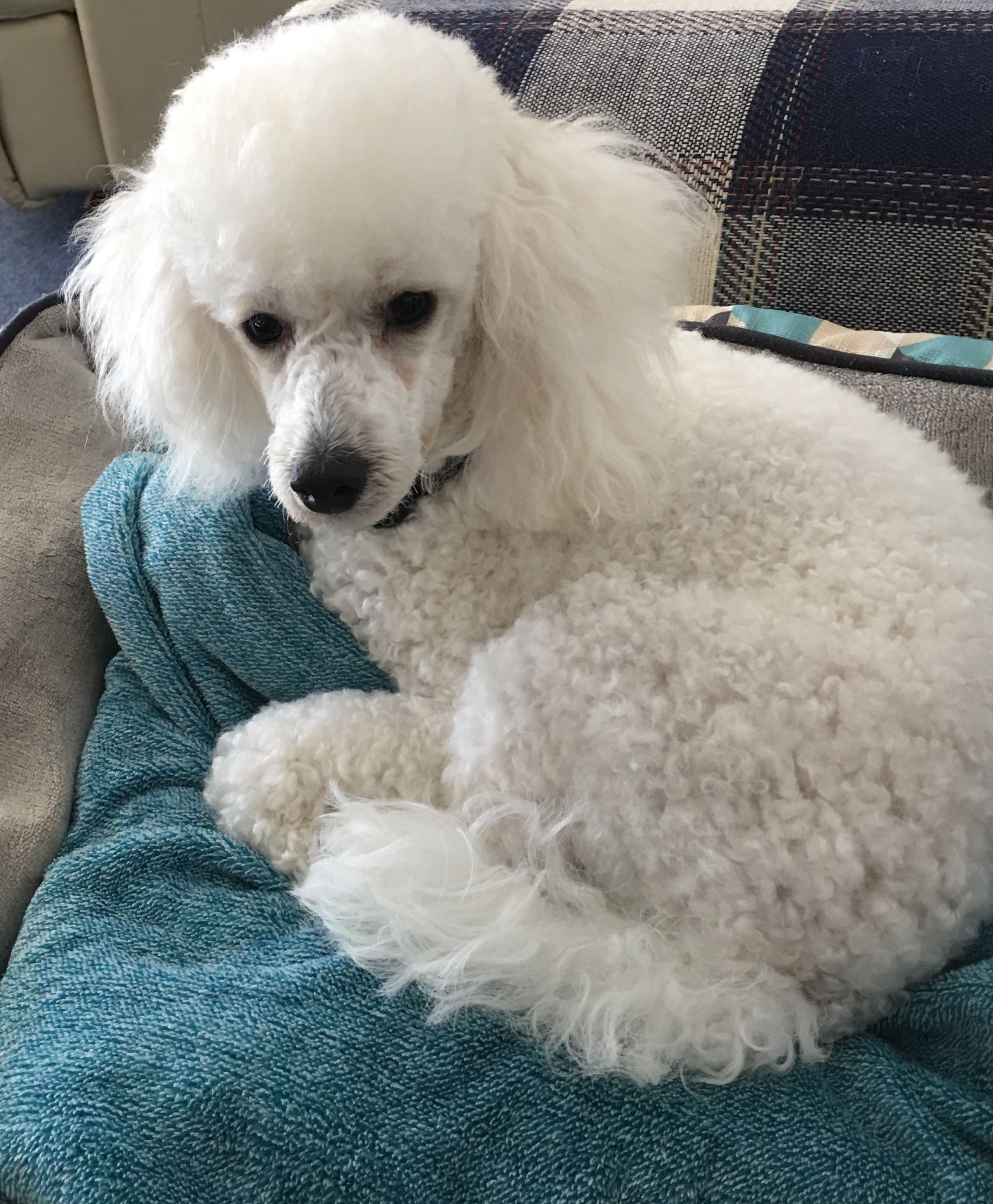 Pin By Martha White On Poodle Love Poodle Dogs Cute Animals