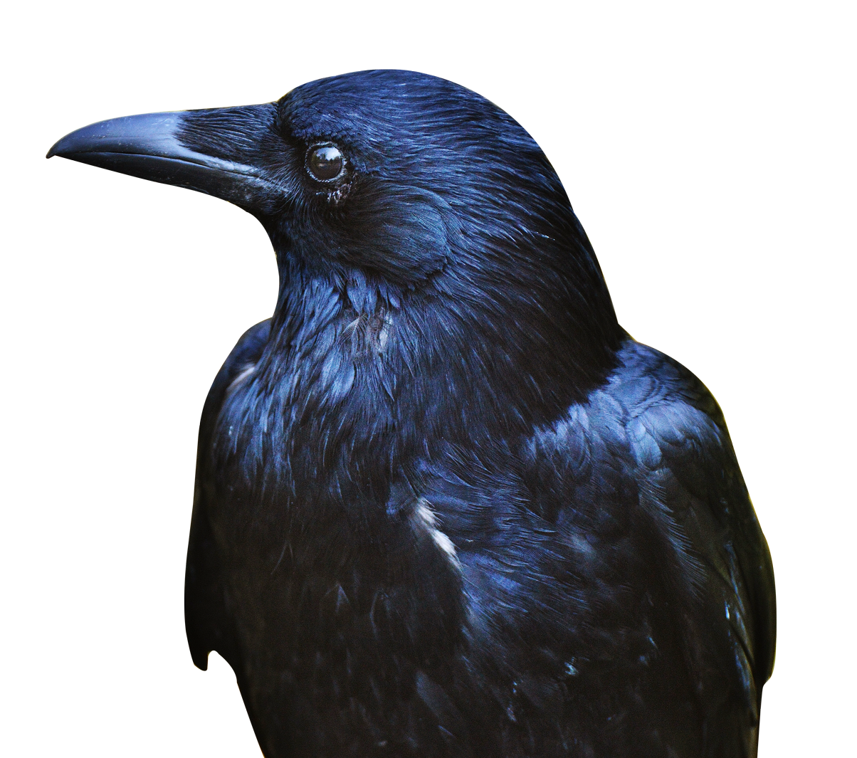 Crow Black Png Image Crow Photos Crow Png Images