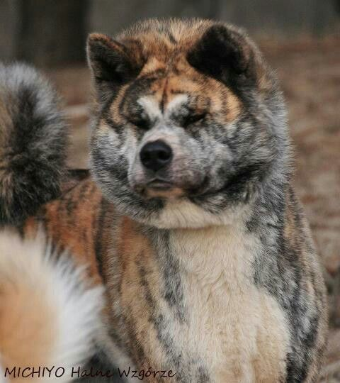 American Akita Dogs Are Loyal And My Dream Is To Have A Dog In My