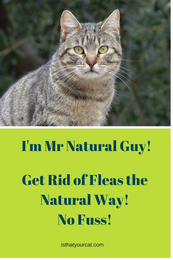Do You Need Chemicals To Get Rid Of Fleas On Cats Cat Fleas Cat Behavior Cat Has Fleas