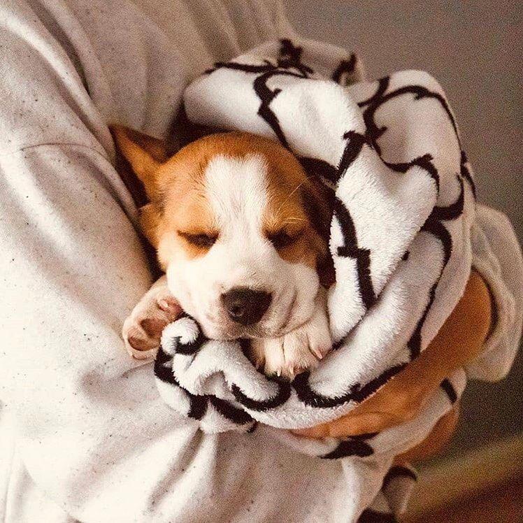 J'ai rampé sous la bûche de bois vers l'endroit où j'avais vu le lièvre pour la dernière fois. C'était la troisième fois que j'essayais d'abattre un lièvre. Cela devenait gênant. Tous mes cousins et frères avaient eu un lièvre chacun, mais moi je n'avais rien eu. Depuis trois jours...... #beagle #beaglelove #beagles #beaglelife #beaglestagram #beaglemania #beaglepuppy #beagleworld #beaglemix #beagleloveit #beagledog #beaglesdaily #beagleworld_feature #beagleboy photo for @beagle.hub