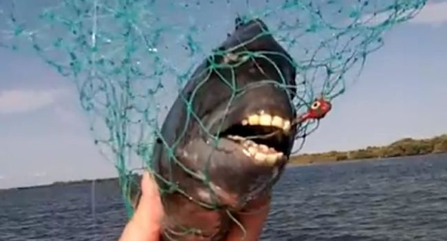 This Sheepshead Fish Has Teeth That Look Like Those Of A Human Human Teeth Fish Teeth Teeth