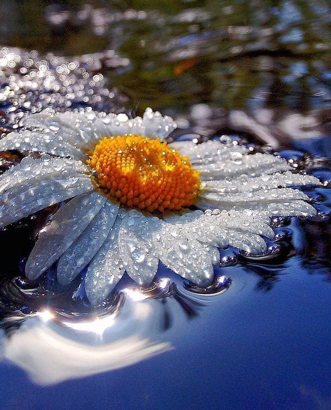 "Riyets on Instagram: ""Who loves daisies ? 🌼😊 . Photo by 📸 #jumonola 👏🏼👏🏼👏🏼 . #flowers  #yourshotphotographer #natgeoyourshot #sonyalphatr #fantastic_earthpix…"""