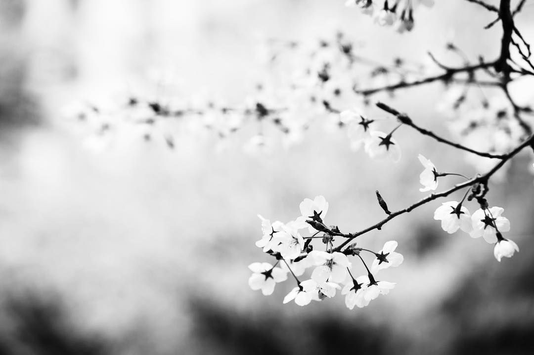 Aesthetic On Instagram You May Say I M A Dreamer But I M Not The Only One Black And White Flowers Black And White Landscape Cherry Blossom Wallpaper