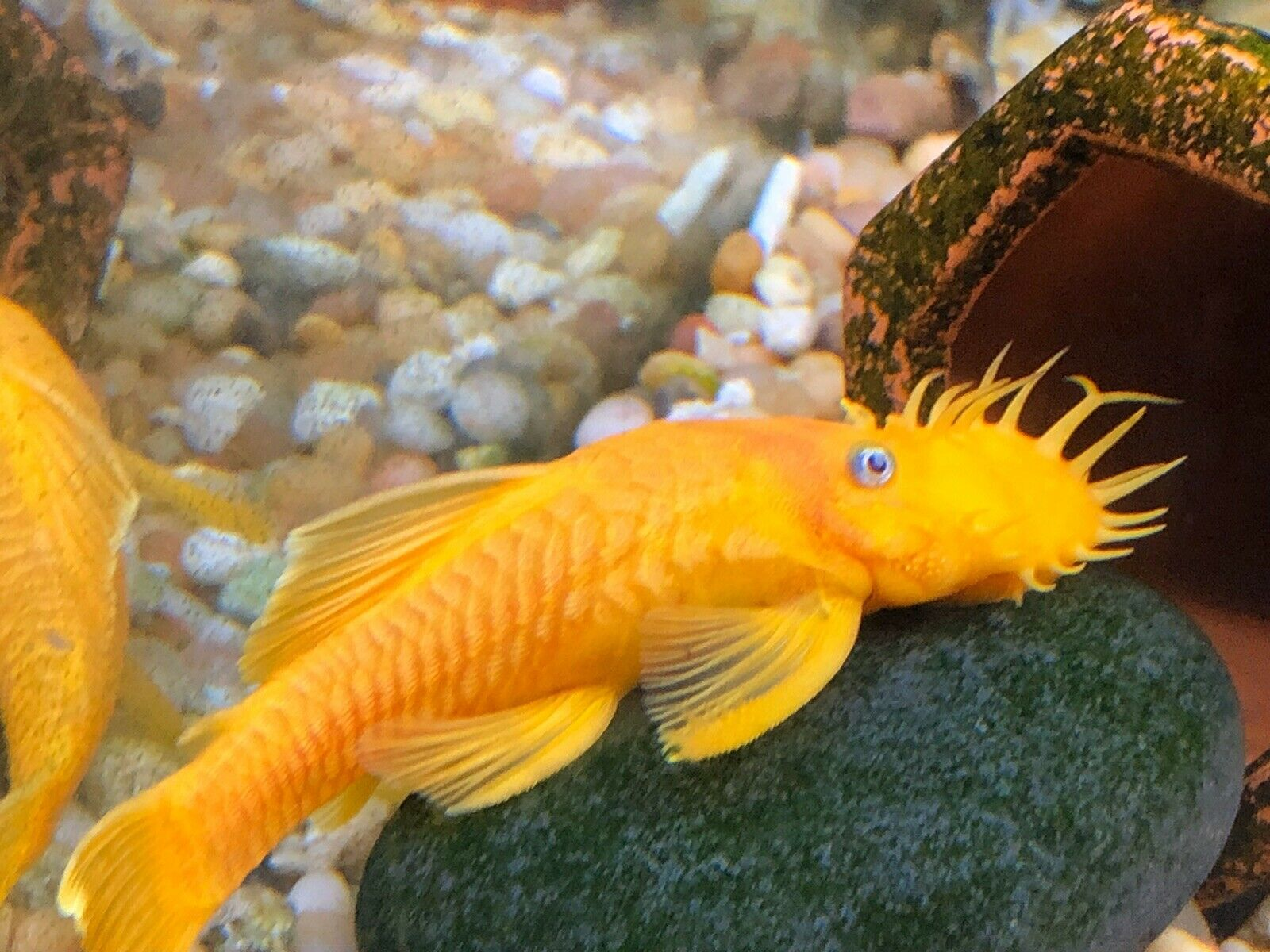 Guaranteed Pair 1 Male 1 Female L144 Blue Eye Lemon Bristlenose Pleco Ancistrus 15 00 Expedited Shipping Aquarium Fish For Sale Fish For Sale Beautiful Fish
